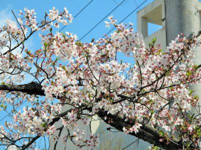 京都女子中学高等学校の桜